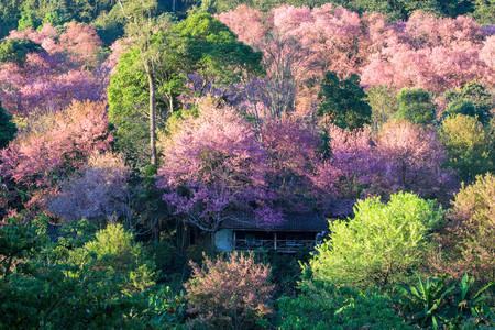 house of sakura Wild Himalayan Cherry at khun chang kian, Chiangmai Province, Thailand. Stock Photo - 95732321