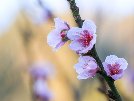 Cherry blossom or sakura flowers, in Chiangmai Thailand. Stock Photo - 95732324