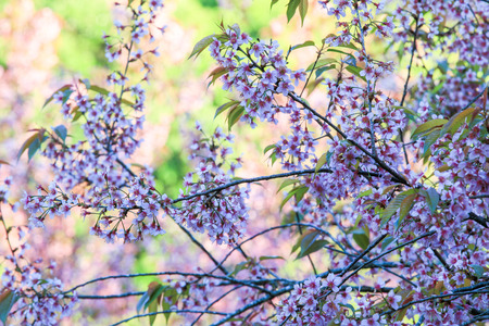 Cherry Blossom or sakura flowers at Khun Chang Kian, Chiangmai, Thailand. Stock Photo - 95732325