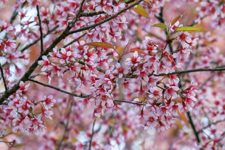 Cherry blossom or sakura flowers, in Chiangmai Thailand. Stock Photo - 95732327