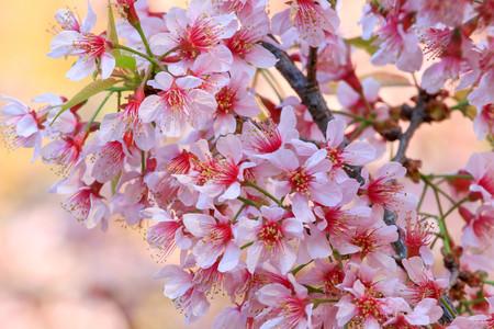 Cherry Blossom or sakura flowers at Khun Chang Kian, Chiangmai, Thailand. Stock Photo - 95732330