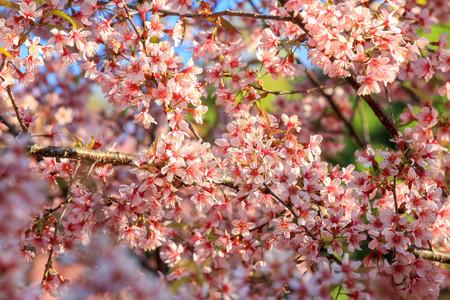 Cherry blossom or sakura flowers, in Chiangmai Thailand. Stock Photo