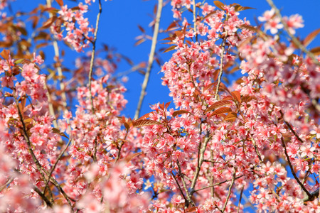 Cherry Blossom or sakura flowers at Khun Chang Kian, Chiangmai, Thailand. Stock Photo - 95735784