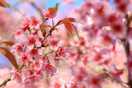 Close-up,Cherry Blossom or sakura flowers at Khun Chang Kian, Chiangmai, Thailand.