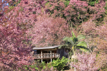 house of sakura Wild Himalayan Cherry at khun chang kian, Chiangmai Province, Thailand. Stock Photo - 95735787