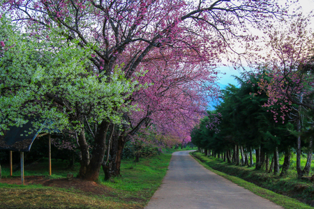 Cherry Blossom Pathway at Khunwang in the morning, Chiangmai Province, Thailand.