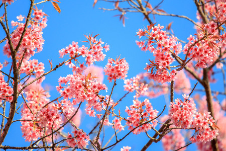 Close up branch of pink cherry blossom with blue sky at Khunwang, Chiangmai Province, Thailand. Stock Photo