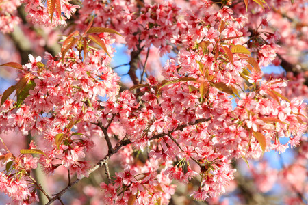 Close up branch of pink cherry blossom at Khunwang, Chiangmai Province, Thailand. Stock Photo