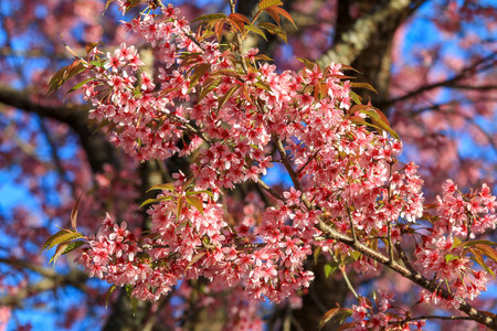 Close up branch of pink cherry blossom at Khunwang, Chiangmai Province, Thailand. Stock Photo - 95912599