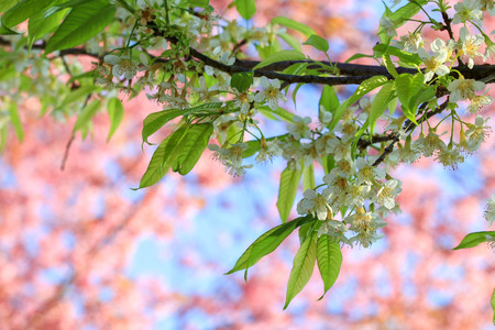 Close up branch of White cherry blossom at Khunwang, Chiangmai Province, Thailand.