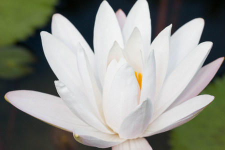 Close up white lotus flower or water lily flowers blooming on pond. Stock Photo