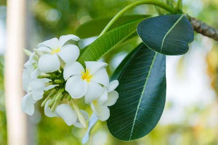 graden: white and yellow flower plumeria in graden Stock Photo