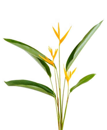 heliconiaceae: Heliconia flower isolated and white background