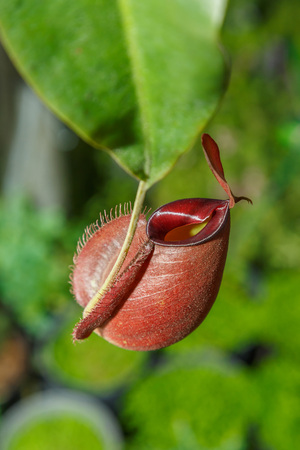 pitfall: Nepenthes or Monkey Cups in garden