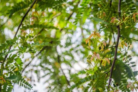tamarindo: Tamarind Flor