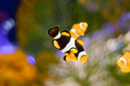clown fish or anemone fish on dark blue background with transparent water in aquarium