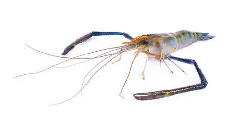 tiger shrimp: Fresh raw tiger shrimp