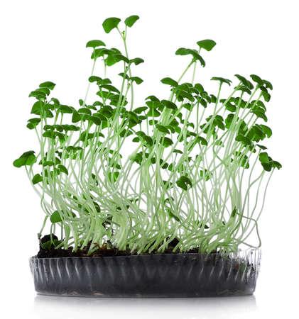 microgreens croissance sur fond blanc