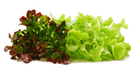 Red and green oak lettuce with water drops on white background. Stock Photo