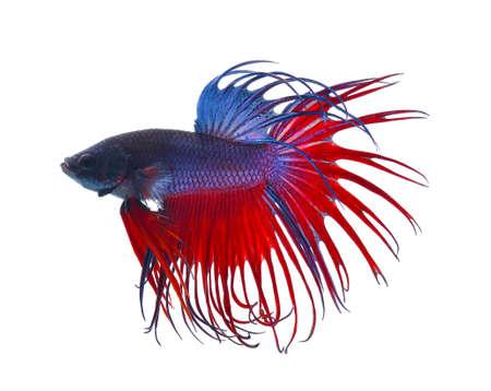 betta splendens: fighting fish.Colorful Dragon Fish. isolated on white background. Betta Splendens
