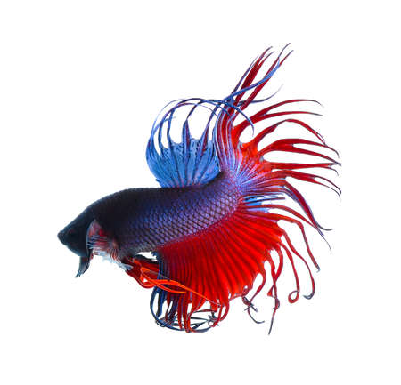 dragon fish: fighting fish.Colorful Dragon Fish. isolated on white background. Betta Splendens