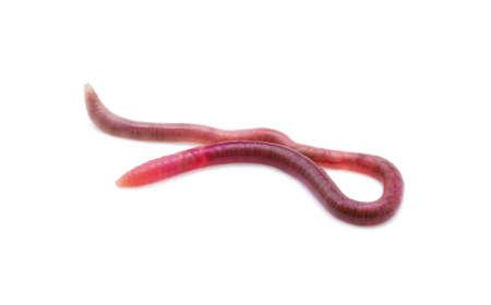 earthworm: earthworm on white background
