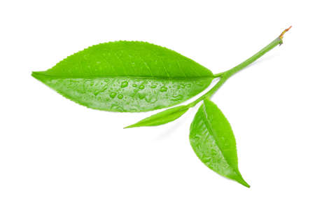 Groen theeblaadje met dalingen van water op witte achtergrond.