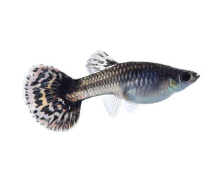 beautiful guppy on white background