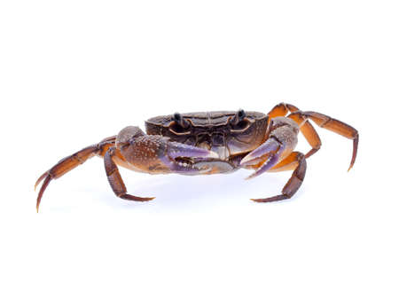 Freshwater crabs isolated on white background Stock Photo