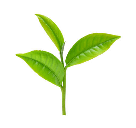 groene thee blad geïsoleerd op wit Stockfoto