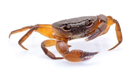 fiddler krab geïsoleerd op een witte achtergrond