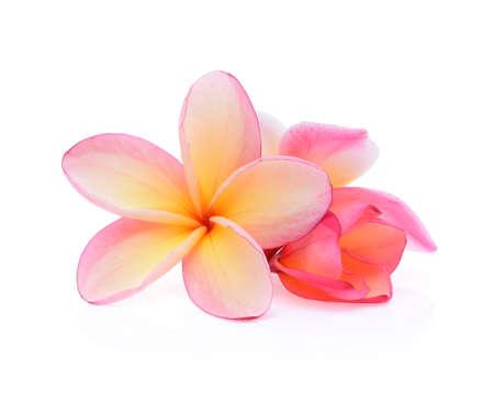 Frangipani flores tropicales (plumeria) aislado sobre fondo blanco.