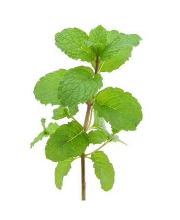 frische grüne Minzblätter lokalisiert auf weißem Hintergrund Standard-Bild