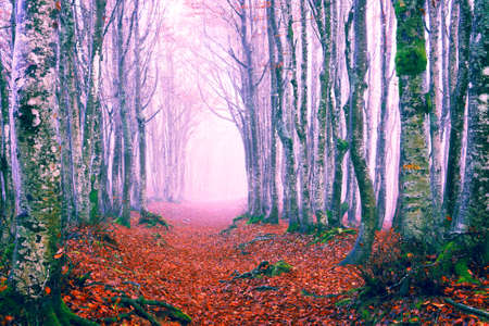 Enchanted forest path at fall season - Beautiful view of the beech woods in winter with red and pink tones and light morning mist - Picturesque image of trees on an autumn day Stock fotó