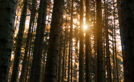 Whire fir forest at sunset - Coniferous trunks with warm sunlight background - Concept of nature plants and light