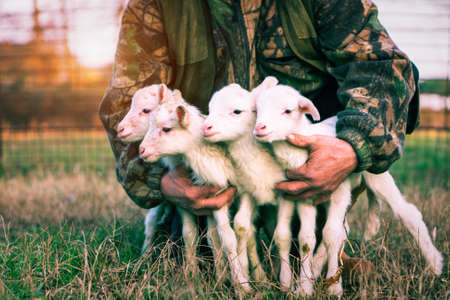 Four newborn lambs in hands of  shepherd standing outdoor on grass at sunset light - Baby animals looking around with innocent attitude - Rural concept of love and protection - Vintage filter image