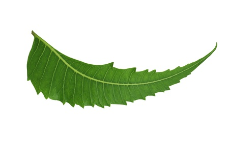Indian Herbal  Medicinal Leaf - Neem isolated on white background Imagens