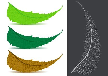 Indian Herbal / Medicinal Leaf Stock Vector - 15171680