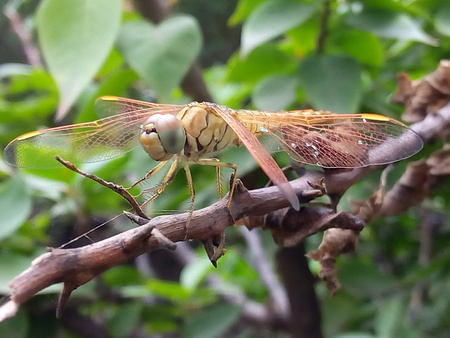 A dragonfly sitting still on the branch of a bush.
