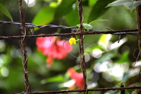 wire fence: A wired fence with a Hibiscus flower in the background