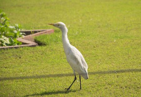 White Crane bird walking on lawn