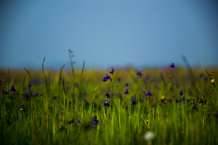 Meadow of small purple flowers in grass at Kaas plateau situated in Maharashtra, India