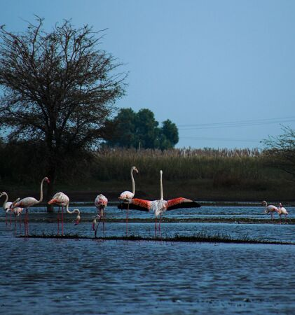 A pink flamingo in a flamboyance standing with spread wings in river water in Maharashtra state of India