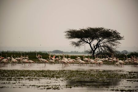 A flamboyance of flamingos wading in river in Maharashtra state of India Stockfoto