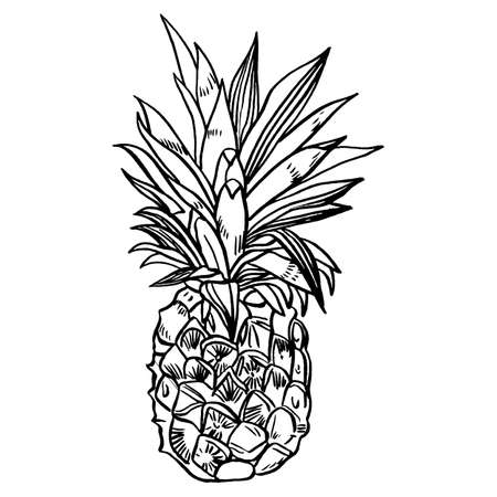 hand drawn sketch style set illustrations of ripe pineapples