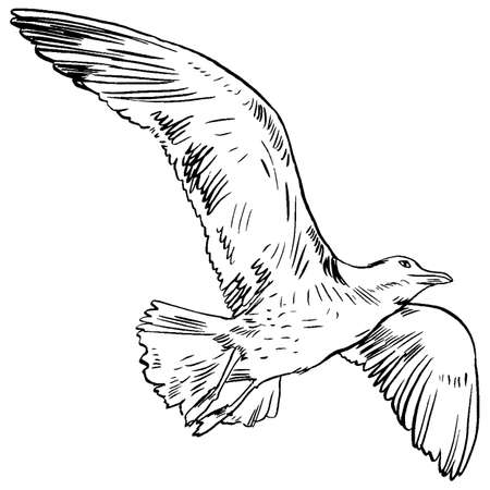 ornithologist: Gull flight bird and seabird gull. Sea gull, isolated on white background. Herring Gull for your journal article or encyclopedia. Hand-drawn, handpicked