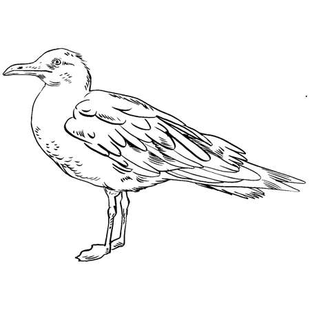 seabird: Gull flight bird and seabird gull. Sea gull, isolated on white background. Herring Gull for your journal article or encyclopedia. Hand-drawn, handpicked