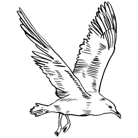 sea bird: Gull flight bird and seabird gull. Sea gull, isolated on white background. Herring Gull for your journal article or encyclopedia. Hand-drawn, handpicked