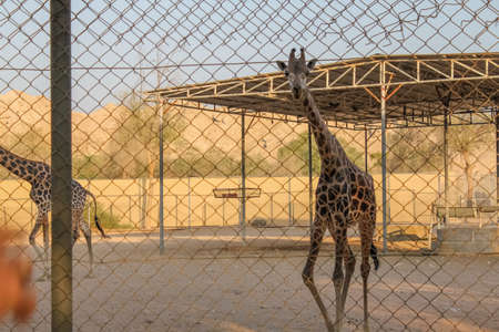 African giraffe on the background of the desert, behind the fence at a small pond Standard-Bild - 121438983