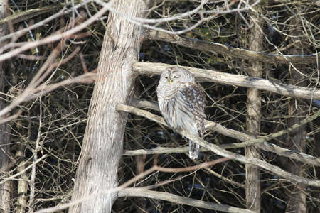 Barred Owl sitting on a bare branch of a tall tree, on the outskirts of a large city on a cold winter day, facing east in the early afternoon photo